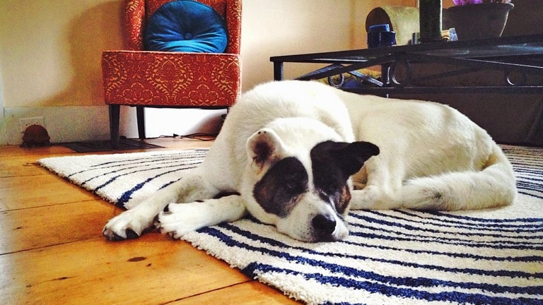 Using Area Rugs to Protect Hardwood Flooring From Your Pets